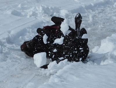 """Ein """"Knäuel Nico"""" wälzt sich ausgelassen und vergnügt im Schnee"""