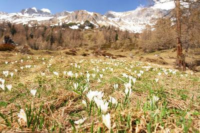 Tausende Krokusblüten im Umfeld der Muhreralm