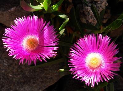 Duftende Blütenpracht auf der Insel Cres