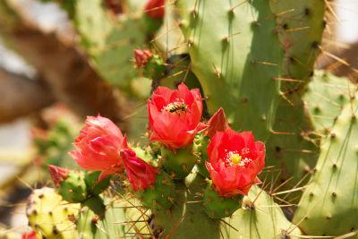 Blühender Kaktus in Mali Losinj