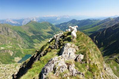 Schaf-Gesellschaft am Stierkarkopf