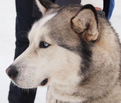 Husky-Hundeschlitten-Rennen