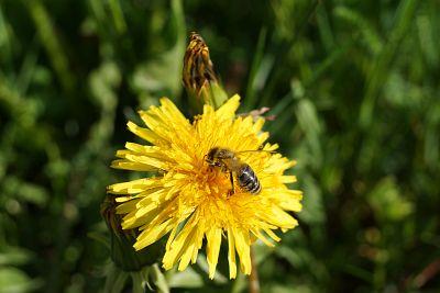 Unscheinbare Blume mit Biene ...