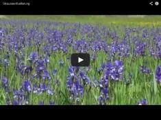 Iriswiese nahe dem Schloss Trautenfels