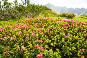 Almrauschblüte in der Nähe des Knaudachtörls