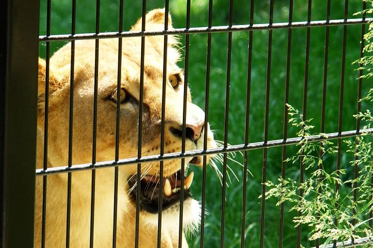 Löwe im Tierpark Stadt Haag
