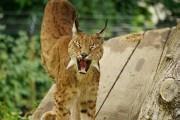 Luchs in der Tierwelt Herberstein