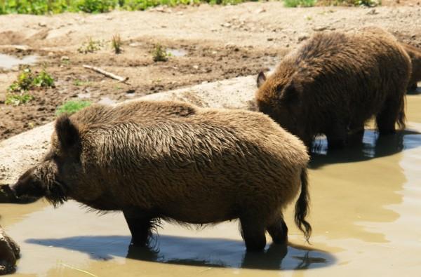 Wildschweine im Wildpark Altenfelden