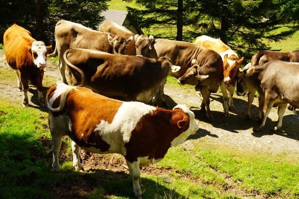 Kühe - die gefährlichsten Tier der Alpen. Auch heuer gab es bereits wieder einige Todesfälle, immer im Zusammenhang mit Hunden.