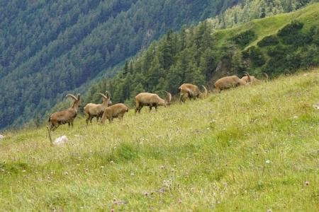 Die erste Begegnung mit den imposanten Alpentieren