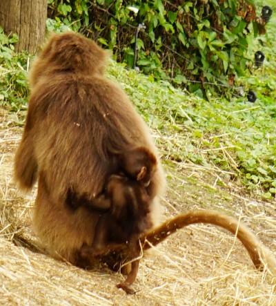 Ein Affenbaby gut getarnt am Rücken der Mama