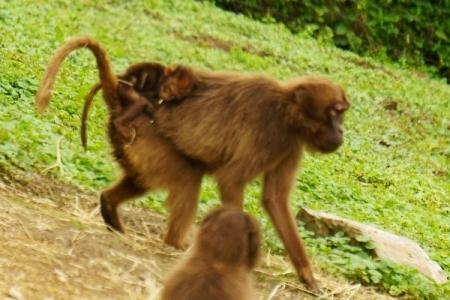 Leider nicht ganz scharf - aber das Affenbaby war einfach zu süß, um es nicht zu zeigen