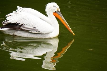 Pelikan mit Spiegelbild