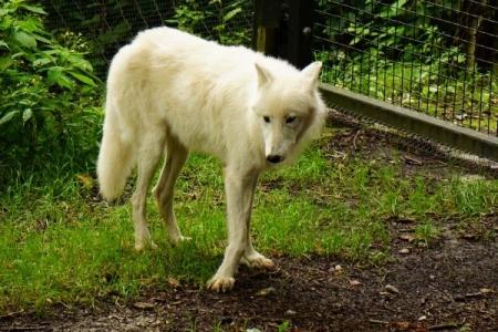 Der Polarwolf macht eine elegante Figur (oder hat einfach nur X-Haxn)