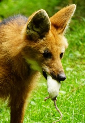 Der Mähnenwolf trägt stolz seine Beute spazieren