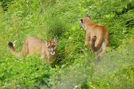 ... sogar 2 Pumas können wir bewundern.