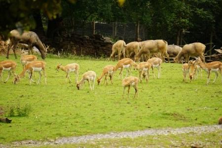 Antilopen, Gazellen oder was auch immer (Löwenfutter halt)