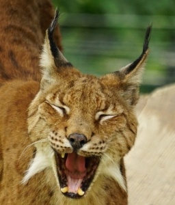 Gähnen kann ganz schön gefährlich aussehen