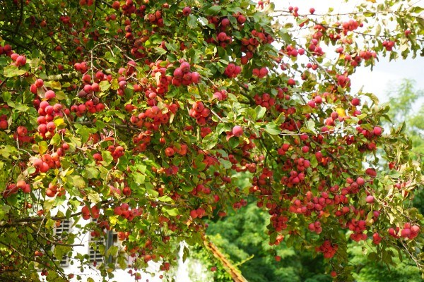 Fruchtreich - und das jetzt, wo uns die Russen keine Äpfel mehr abnehmen.
