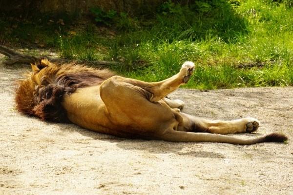 Bis zu 18 Stunden täglich geben sich die Löwen dem Faulenzen hin. Der Rest besteht aus Nahrungsaufnahme und Fortpflanzung (man gönnt sich ja sonst nichts).