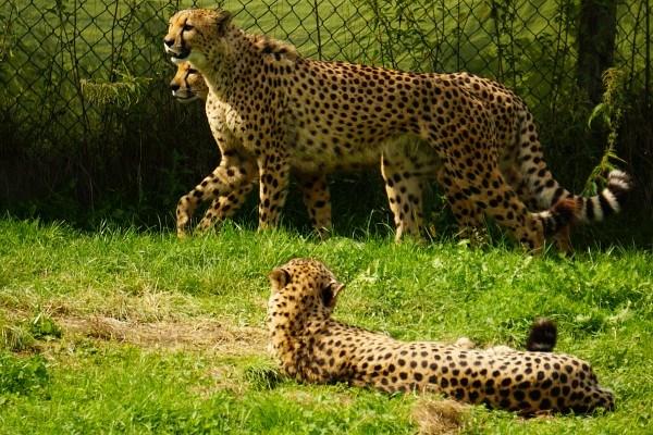 ... dann drei Geparden.