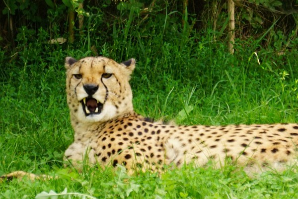 Gepard zeigt Zähne