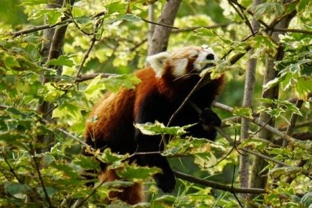 Roter Panda: Das Maskottchen des Tierparks Herberstein