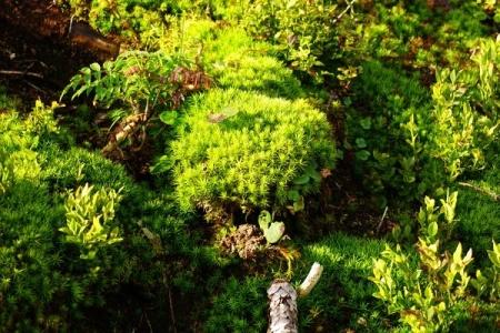 Saftig-grüne Moospolster