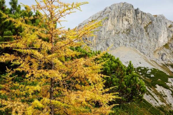 Erste goldgelbe Lärchen im Umfelder der Luserpfanne westlich des Großen Miesberg