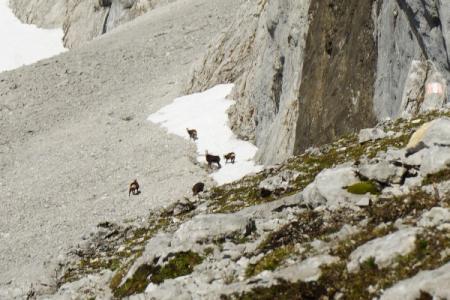 Gamsrudel an den Felswänden und in den Steilhängen