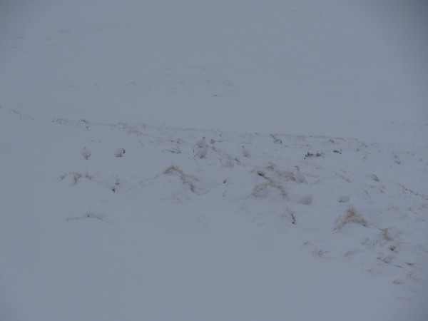 Suchbild: Wer findet die 6 Schneehühner?