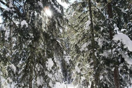 Die Sonne bringt den Schnee zum Schmelzen und läßt es aus den Bäumen regnen