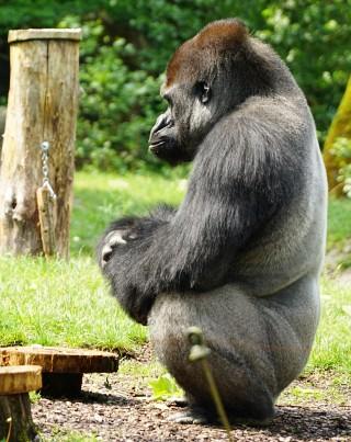 Gorilla-Silberrücken - eine der Hauptattraktionen im Zoo Schmiding