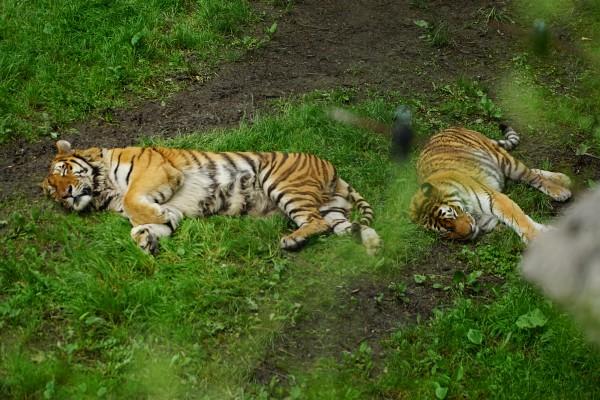 Faule Tiger