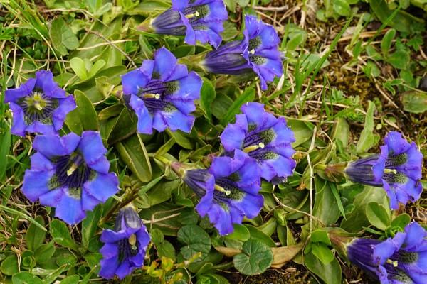Enzian-Blütenpracht