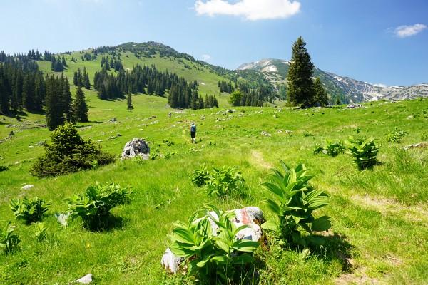 Über die weiten, von zahlreichen Rindviechern bevölkerten Wiesen der Herrenalm zu unserem Gipfelziel - dem Dürrenstein (rechts hinten)