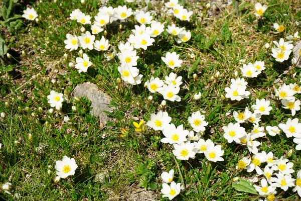 Blühende Alpenblumen