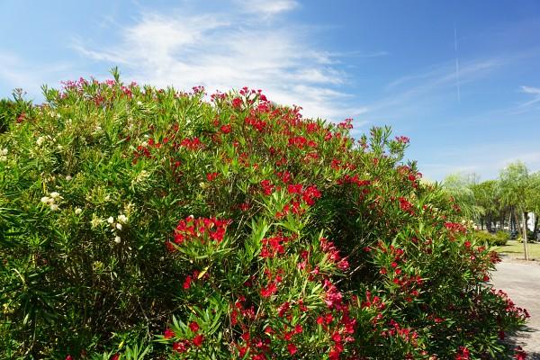 Prächtig blühender Oleander