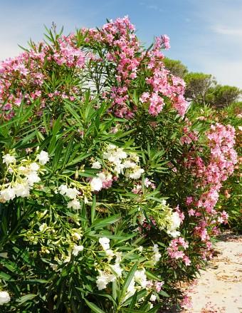Prächtig blühender Oleander in verschiedenen Farben