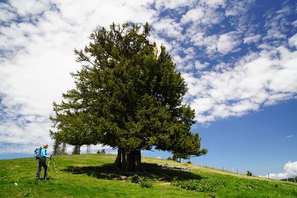 Knapp vor dem Windkogel hängt ein Gleitschirm in einem Baum