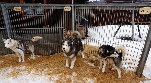 Anfangs waren die Hunde ja noch relativ ruhig. Aber spätestens als sie den Schlitten bemerkten, gab es kein Halten mehr.