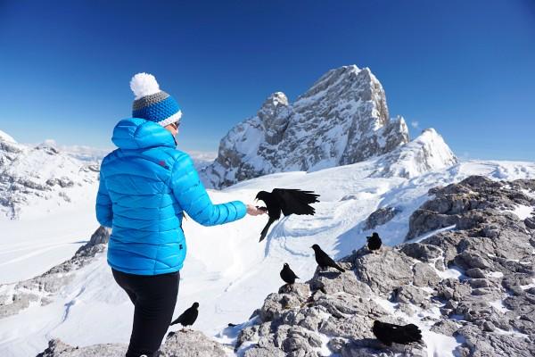 Freche Bergdohlen fressen bei der Dachsteinwartehütte aus der Hand
