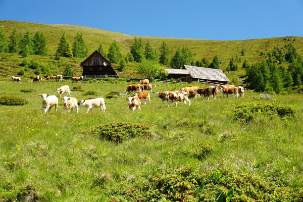 Bei der Tocknerhütte: Die jugendlichen Stiere setzen sich unter lautem Muhen in Bewegung