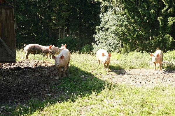 Im Schweinsgalopp nach Trautenfels
