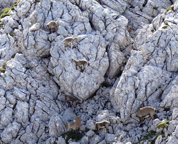Viele Kleintiere üben das Klettern in einer Steinbock-Schule