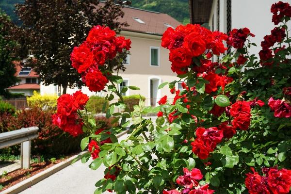 Duftende Rosen in der Sonnenstadt