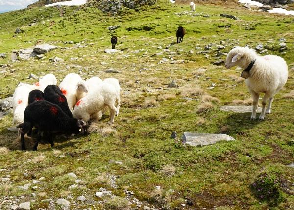 Schafe-Versammlung