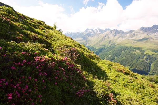 Abstieg über blühende Almrauschfelder zum Ausgangspunkt bei der Faschingalm