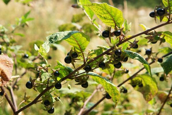 Beeren am Wegesrand