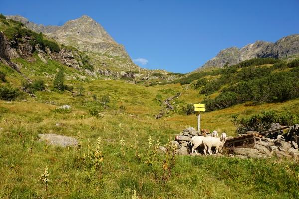 Belämmert blickende Schafe bei einer kleinen Hütte